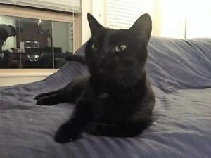 "Young Male Cat - Domestic Short Hair: ""Chuck"""