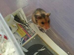 "Young Male Small & Furry - Hamster: ""Mykel"""