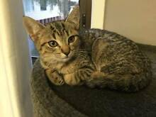 Kitten 'Raya' - Hunter Animal Rescue Cardiff South Lake Macquarie Area Preview