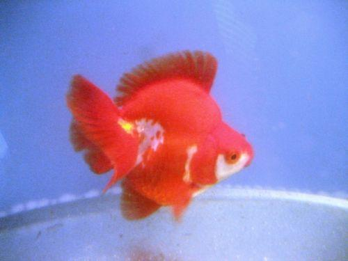 Live fancy goldfish ebay for What fish can live with goldfish