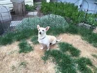 """Adult Female Dog - Chihuahua: """"Barbie"""""""