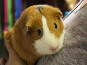 "Adult Male Small & Furry - Guinea Pig: ""COOPER"""