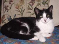 """Young Male Cat - Domestic Short Hair-black and white: """"Mikey"""""""