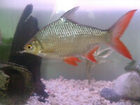 pair of large tinfoil barbs 5inch other 7 inch orange tailed