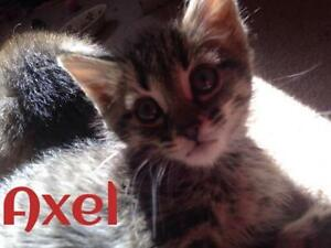 """Baby Male Cat - Domestic Short Hair-Tabby - Brown: """"Axel"""""""
