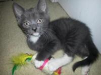 """Young Male Cat - Domestic Short Hair-black and white: """"Smokey"""""""