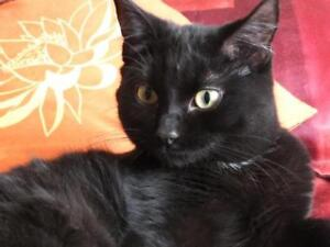 "Adult Male Cat - Domestic Short Hair: ""FLOCON"""