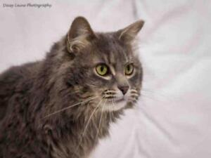 "Adult Female Cat - Domestic Medium Hair: ""LUCIDA"""
