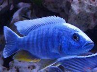 Electric Blue Peacock
