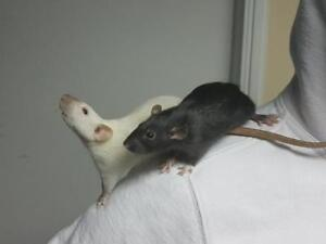 "Young Female Small & Furry - Rat: ""Jessica Jones & Mystique"""