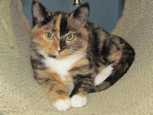 "Baby Female Cat - Calico: ""Charlotte"""