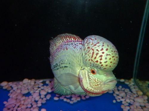 Flowerhorn kamfa live fish ebay for Ebay live fish