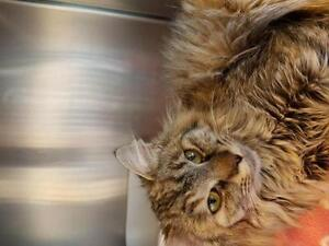 "Adult Female Cat - Domestic Long Hair (Buff): ""Bea"""