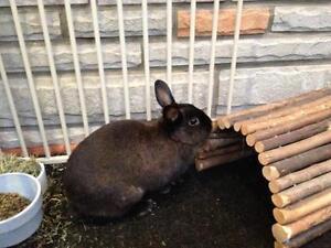 """Adult Female Rabbit - Netherland Dwarf: """"Dusty"""" Cambridge Kitchener Area image 2"""