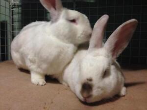 "Adult Male Rabbit - Californian: ""Mufasa and Bijou"" Cambridge Kitchener Area image 3"