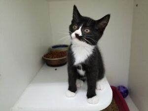 "Baby Female Cat - Domestic Short Hair: ""BA"""