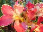 Lily Canna Bulbs, Corms, Roots & Rhizomes
