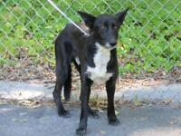 "Adult Male Dog - Shepherd-Border Collie: ""Blackie"""