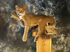 Bobcat, Lynx Wall Mount-Life Size Small Animal Taxidermy