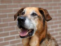 Senior Male  - German Shepherd Dog-Labrador Retriever