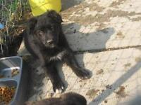 Baby Female  - Labrador Retriever-Border Collie