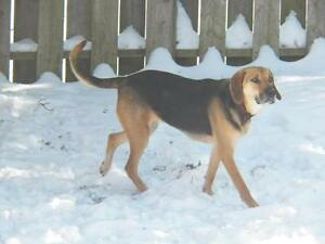 "Adult Female Dog - Hound: ""Maggie"""