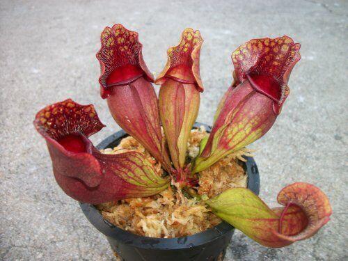 Carnivorous Purple Pitcher Plant (Sarracenia Purpurea Venosa) 3.75 inch pot