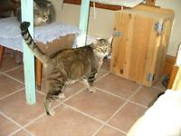 "Adult Male Cat - Tabby - Brown: ""Bob VanD"""