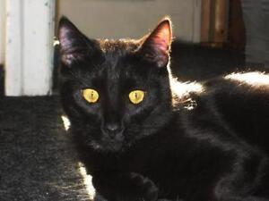 "Young Male Cat - Domestic Short Hair: ""Sesam"""
