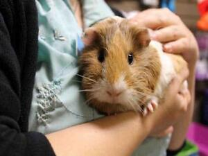 "Adult Female Small & Furry - Guinea Pig: ""BESTY"""