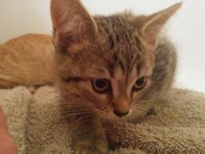 "Baby Male Cat - Domestic Short Hair - brown: ""Mr Smee"""