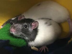 "Young Female Small & Furry - Rat: ""Stormi"""