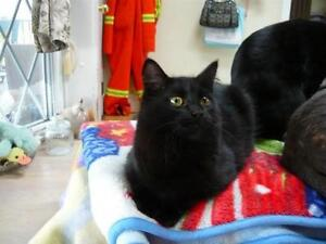 "Young Female Cat - Domestic Medium Hair-black: ""Fuzzy"" Kawartha Lakes Peterborough Area image 3"