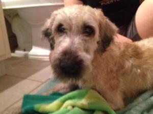 "Adult Female Dog - Wheaten Terrier: ""Skye"""