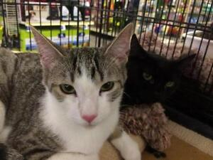 Young Female  - Tabby (Brown)-Domestic Short Hair (White)