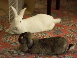 """Adult Female Rabbit - Lop Eared: """"Asiago and Bambi"""""""