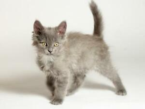 "Baby Male Cat - Domestic Short Hair (Gray): ""Monty"""