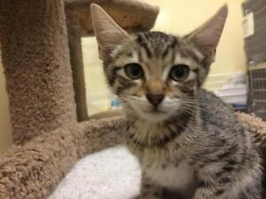 """Young Male Cat - Domestic Short Hair-Tabby: """"Vincent"""""""