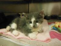"Baby Female Cat - Domestic Short Hair: ""MERRY"""