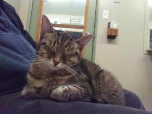 """Young Female Cat - Tabby: """"Annika"""""""