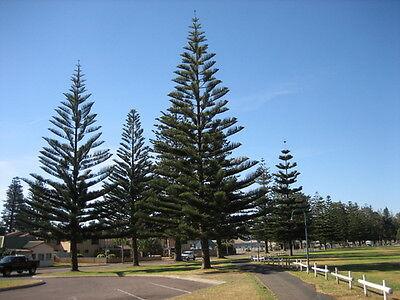 30 FRESH Norfolk Island Pine / Araucaria Heterophylla (Norfolk Pine Tree)