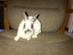 "Young Female Rabbit - Dwarf: ""Fresno"""