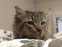 "Young Male Cat - Tabby - Brown: ""Don"""