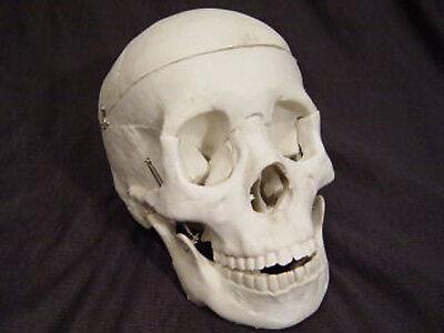 Bucky Skeleton Human Skull Life-Size, Halloween Props](Halloween Skeletons Life Size)
