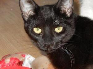 """Baby Female Cat - Domestic Short Hair: """"Charcoal"""""""