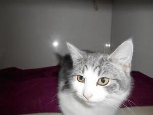 Young Female  - Tabby - Grey-Domestic Short Hair-gray