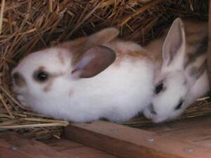 """Young Female Rabbit - Bunny Rabbit: """"Bunny, Patch and Niblet"""""""