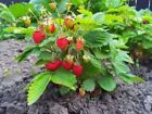 Strawberry Clay Fruit Plant Seeds