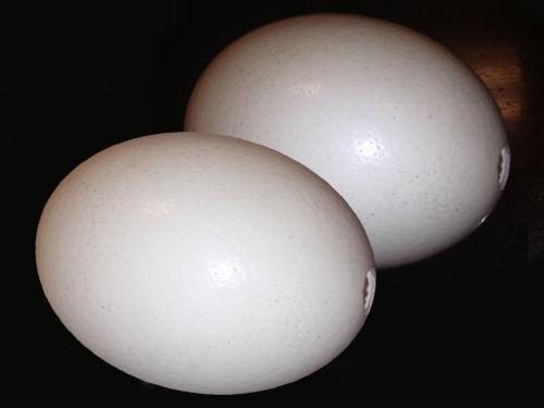 Ostrich Egg | eBay