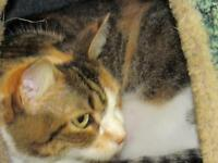 "Adult Female Cat - Calico: ""Chenelle"""